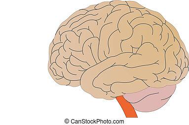 persoon, vector, hersenen