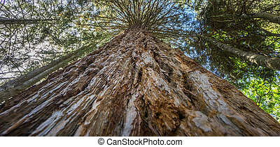 Perspective view of large Sequoia tree
