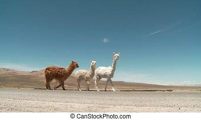 (peru), amerika, zuiden, lamas