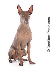 peruano, perro