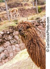 Peruvian alpaca. Farm of llama, alpaca, Vicuna in Peru, ...