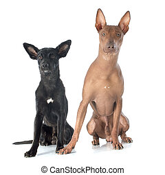 peruvian dogs in front of white background