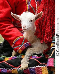 A lamb being held by a Peruvian woman in traditional dress. (Peru)