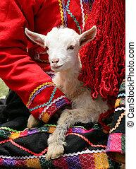 Peruvian Lamb - A lamb being held by a Peruvian woman in...