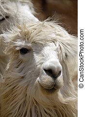 Peruvian Llama - Close up Shot of a Peruvian Llama