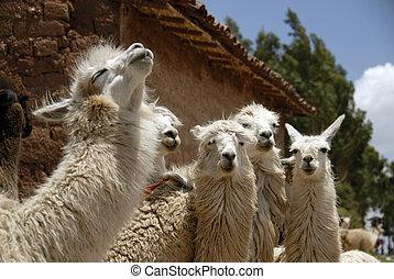 Peruvian Llamas - Close up of a Herd of Peruvian Llama