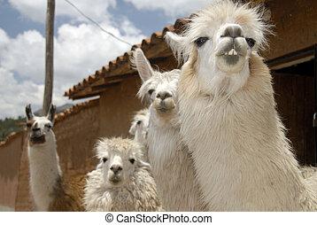 Peruvian Llamas - Close up Shot of a Herd of  Peruvian Llama