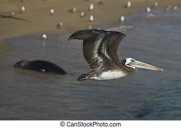 Peruvian Pelican in Flight