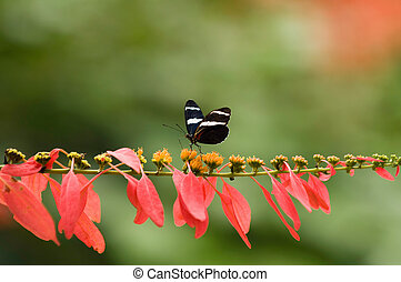 Peruvian Sara butterfly on a tropical flower. Selective ...