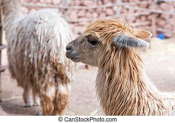 Peruvian vicuna. Farm of llama, alpaca, Vicuna in Peru, ...
