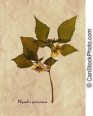 peruviana, herbarium, physalis