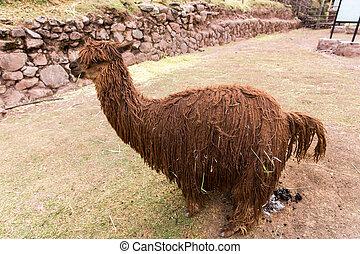 peruwiański, alpaca., zagroda, od, lama, w, peru, america., andean, animal.alpaca, jest, południowa amerikanka, camelid