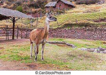 peruwiański, alpaca., zagroda, od, lama