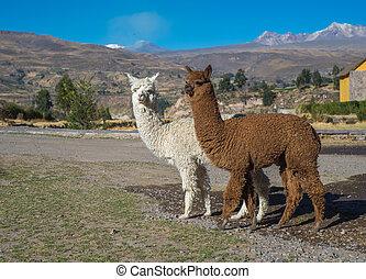 peruwiański, alpaki