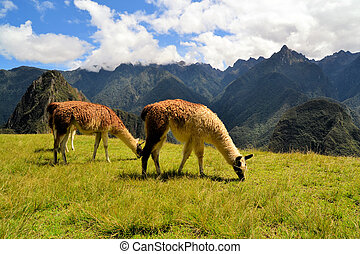 peruwiański, góry, Andy, lamy, Para