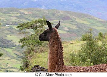 peruwiański, góry, lama