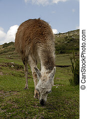 peruwiański, lama