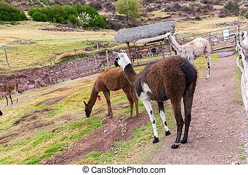 peruwiański, llama., zagroda, od, lama, w, peru, america., andean, animal.llama, jest, południowa amerikanka, camelid