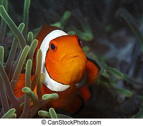 Testa pagliaccio scuro immagini e archivi fotografici999 for Immagini pesce pagliaccio