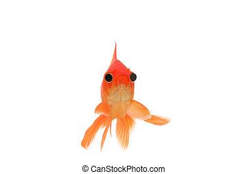 pesce rosso, divertente, occhi, grande