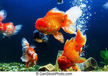 pesce rosso acquario contenuto pesce rosso vector