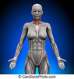 pescoço, -, femininas, anatomia, músculos