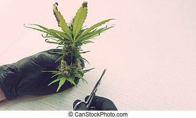 pessoa, médico, buds., marijuana, cannabis, luvas, fresco, aparando, colheita, plant., pretas