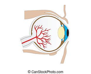 pessoa, vetorial, estrutura olho