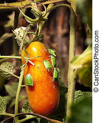 Pest attack - Closeup view of several pests on tomato fruit.