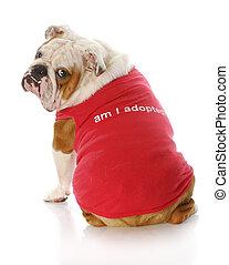 pet adoption - english bulldog wearing red shirt that says...
