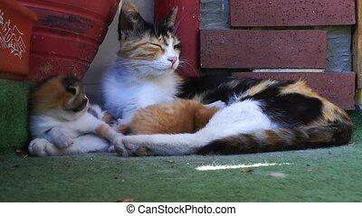 Pet Animal Cat