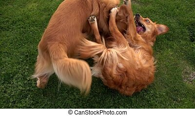 Pet Animal Dogs Playing on Grass in Park