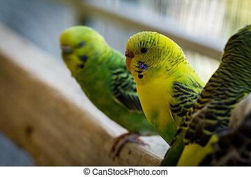 Pet Bird Parakeets