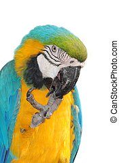 pet bird parrot macaw
