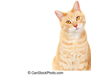 Pet cat. - Ginger Cat isolated over white background. Animal...