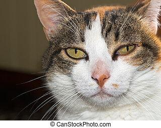 Pet cat with tick. Ixode scapularis.