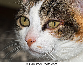 Pet cat with tick near eye. Ixodes scapularis. - Veterinary...