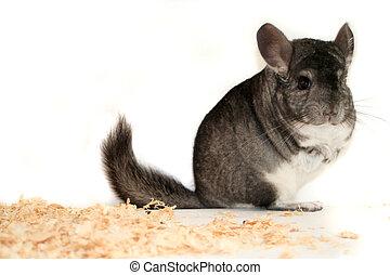 chinchilla - pet chinchilla portrait