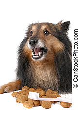 Pet dental care - Small furry Sheltie laying chewing food...