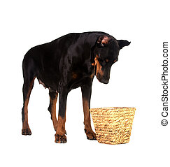 pet dog looking for a food in basket
