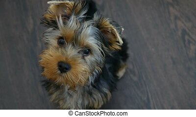pet dog Yorkshire Terrier sitting looking at the camera -...