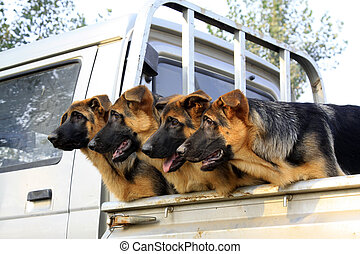 pet dogs in the car compartment