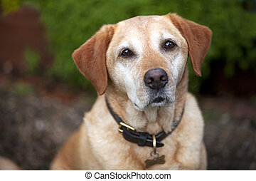 Pet Golden Labrador - A pet golden labrador dog wearing...