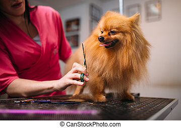 Pet groomer makes grooming dog, hairstyle for domestic...