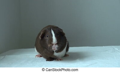 Pet Guinea pig looking forward. Spotted a funny animal....