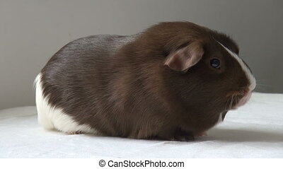 Pet Guinea pig on a neutral background. Spotted a funny...