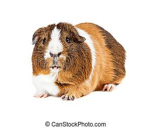 Pet Guinea Pig On White