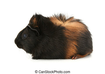 Pet Guinea Pig - Small black and brown haired pet guinea pig...