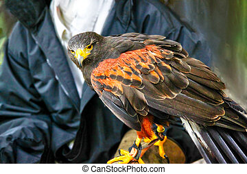 Pet Harris Hawk Used in the Sport of falconry - A pet Harris...
