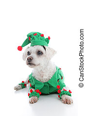 Pet Jester or Christmas Elf - A small pet dog wearing a...